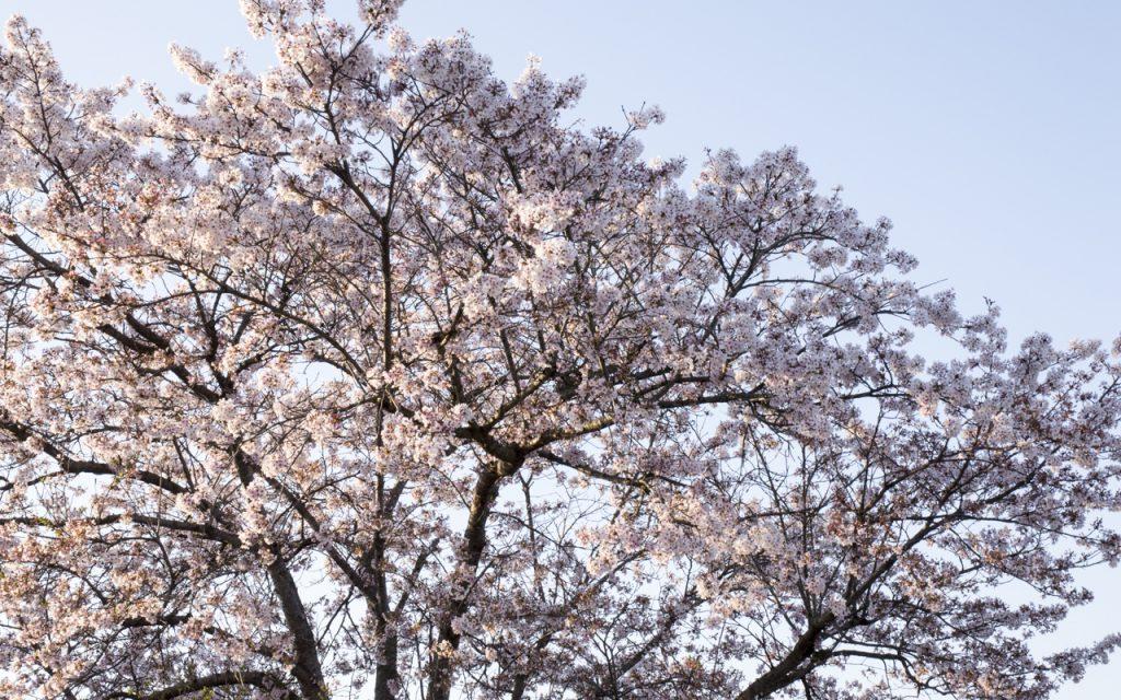 近所の桜、まだ頑張っている