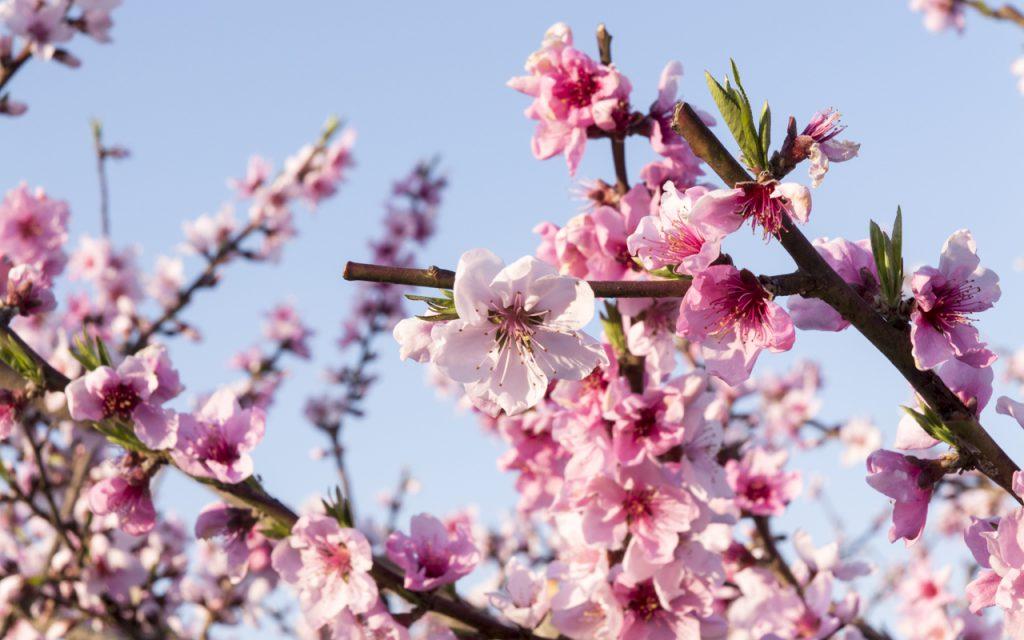 これは桃の花。収穫はごちそうになっている