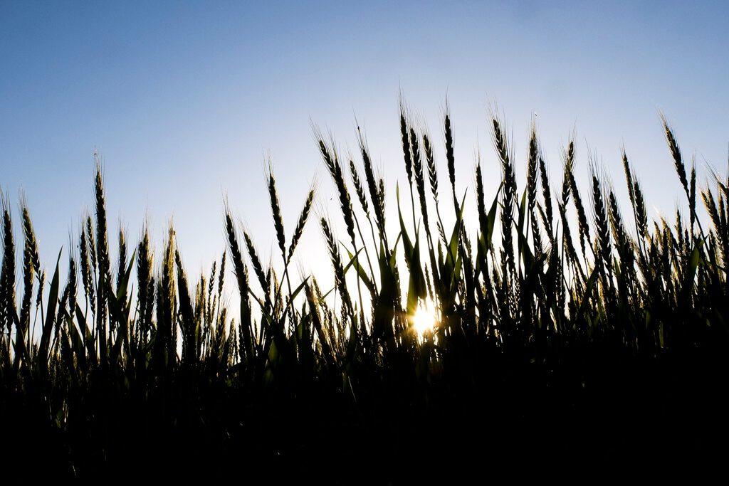 X30, 麦畑。